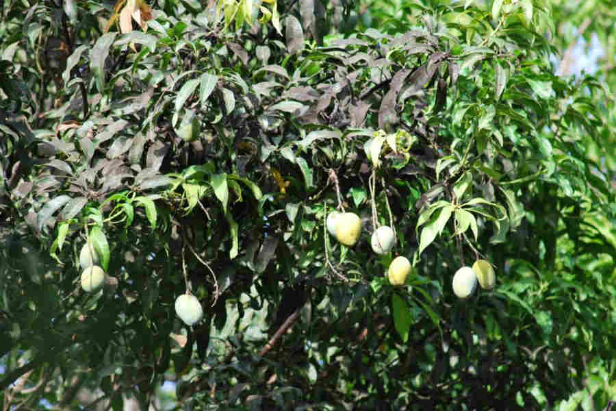 The mangoes at the orchard at the Cozy Homestay at Sawantwadi