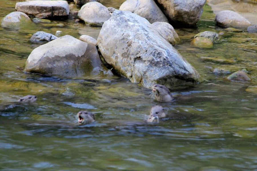 Otters at Jungle Lodge near Corbett National Park