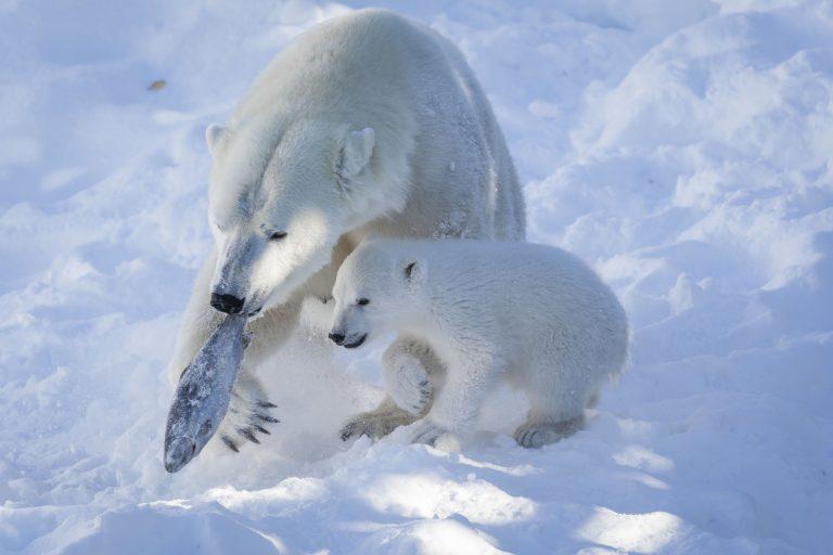 Ranua Zoo Visit - Polar Bear