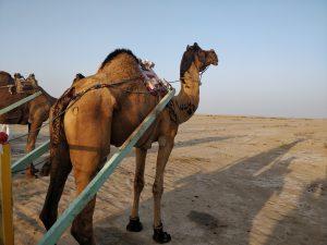 Camel cart ride at White Desert