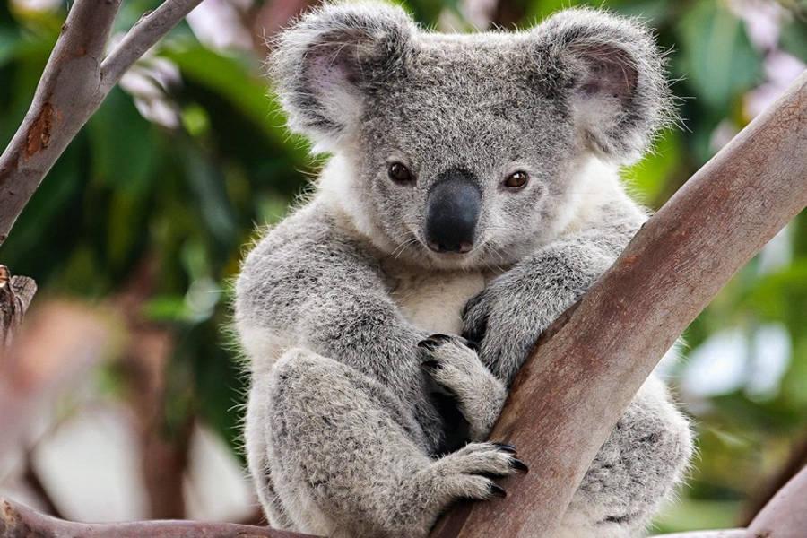 Koala-conservation-centre-Melbourne
